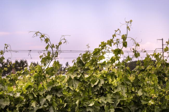 Juzni Banat vinogradi 03.jpg