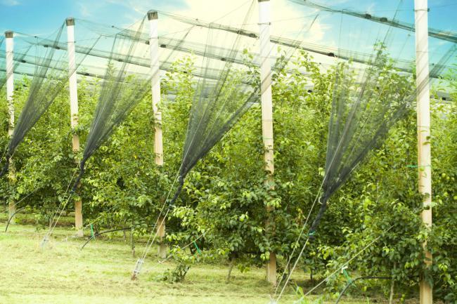 Juzni Banat gornji vocnjak04.jpg