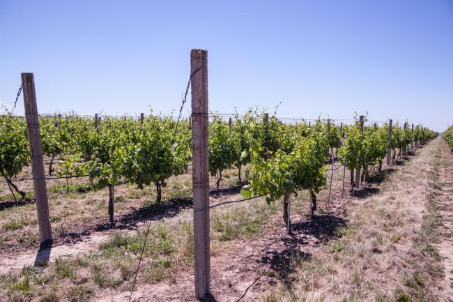 Juzni Banat vinogradi 06.jpg