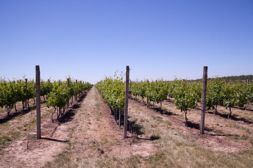 Juzni Banat vinogradi 05.jpg